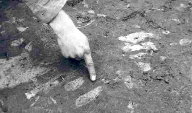 3,700 years old cow trotter imprints discovered near Schokland, 1987.