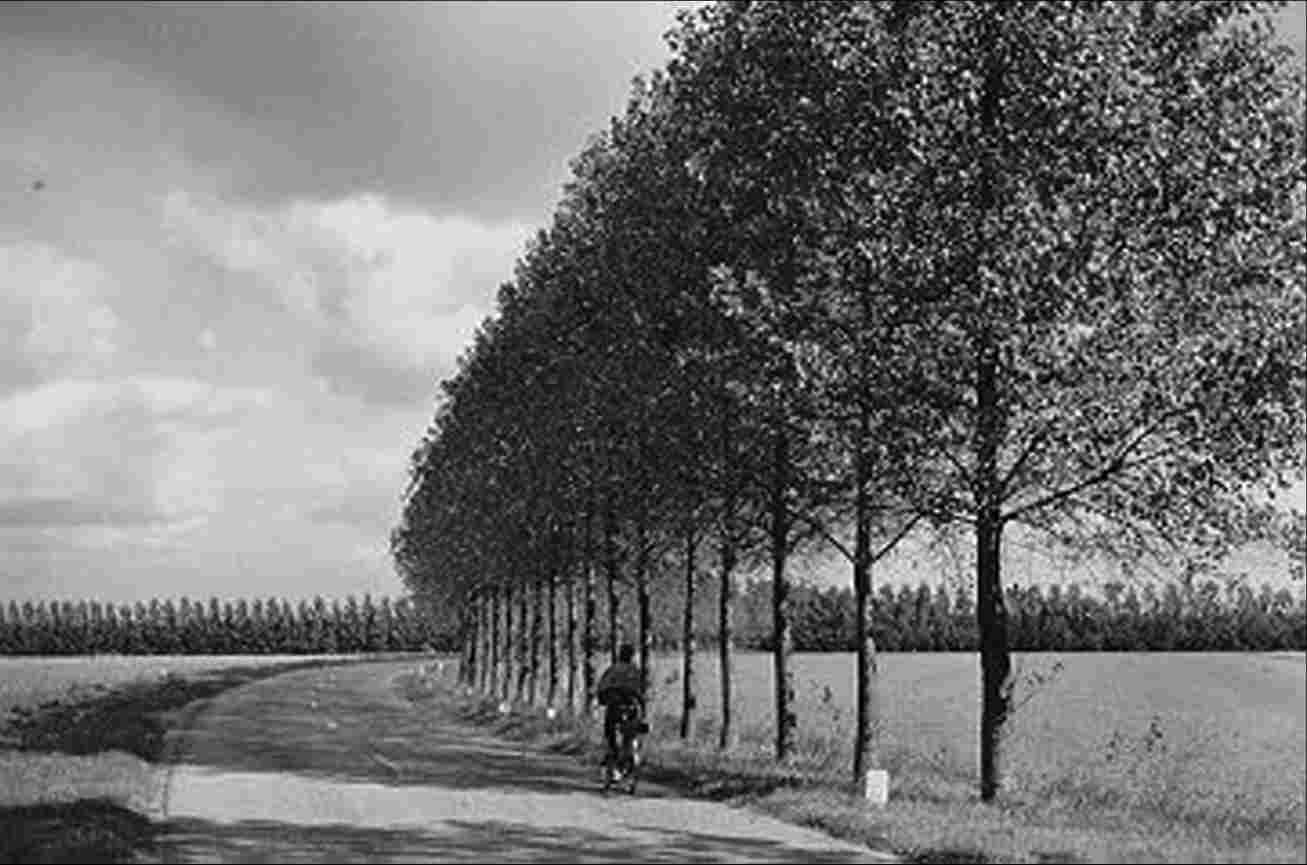 One-sided tree planting of the Steenwijkerweg with Populus regenerata. In the background, windbreakers of fruit farms, 1960.