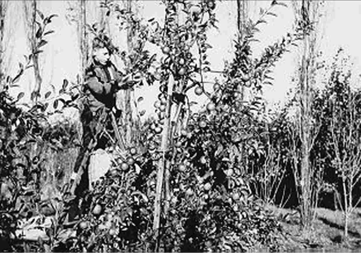 Apple picking at the fruit farm on plot S 53 of P.J. Provoost, 1958.