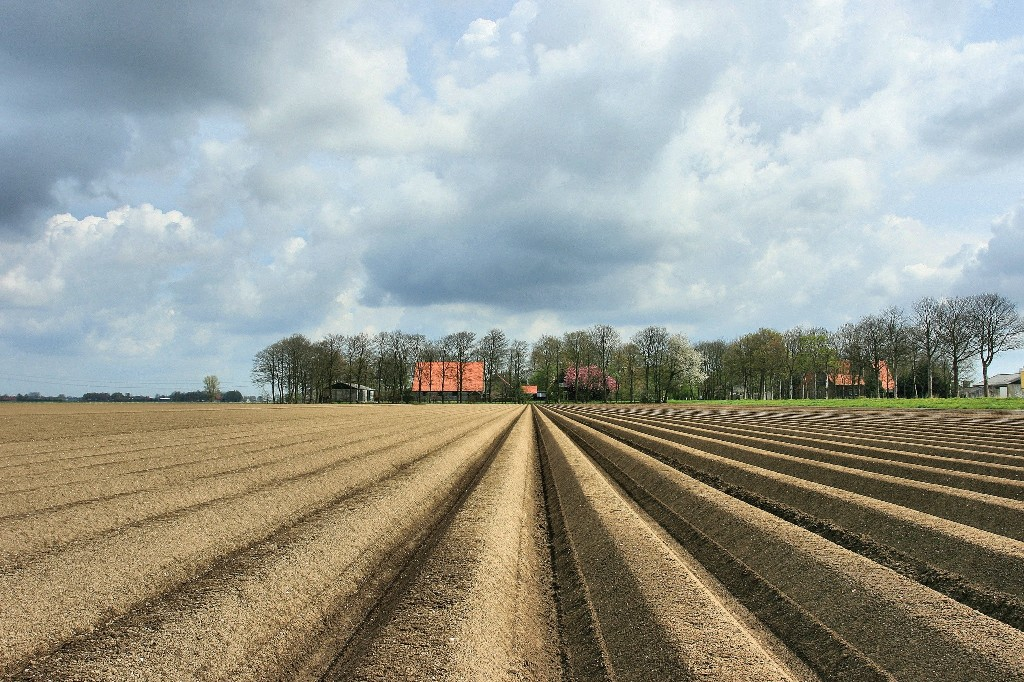 The potatoes are planted in the fertile polder soil, 2008